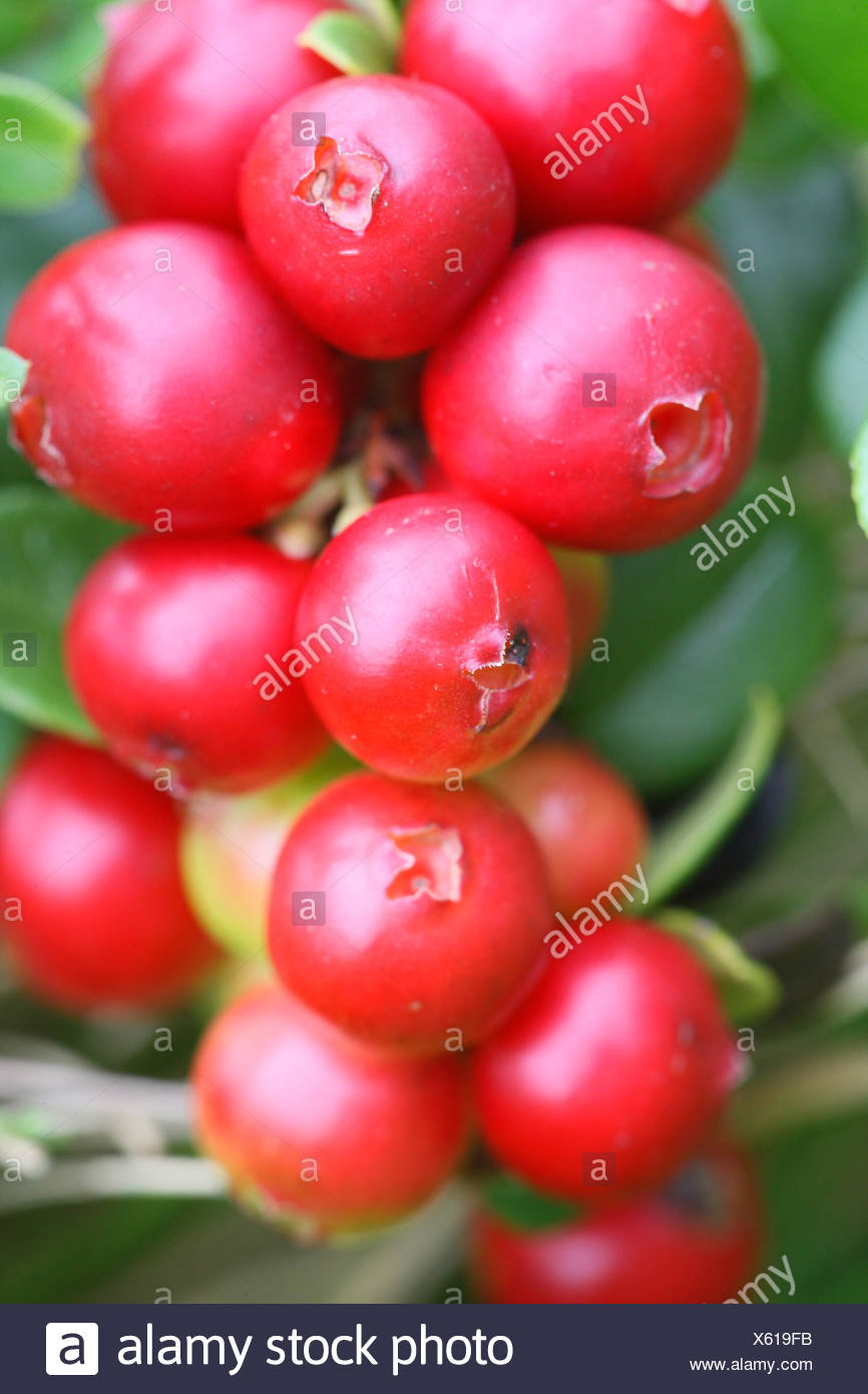 cowberry, foxberry, lingonberry, mountain cranberry Vaccinium ...