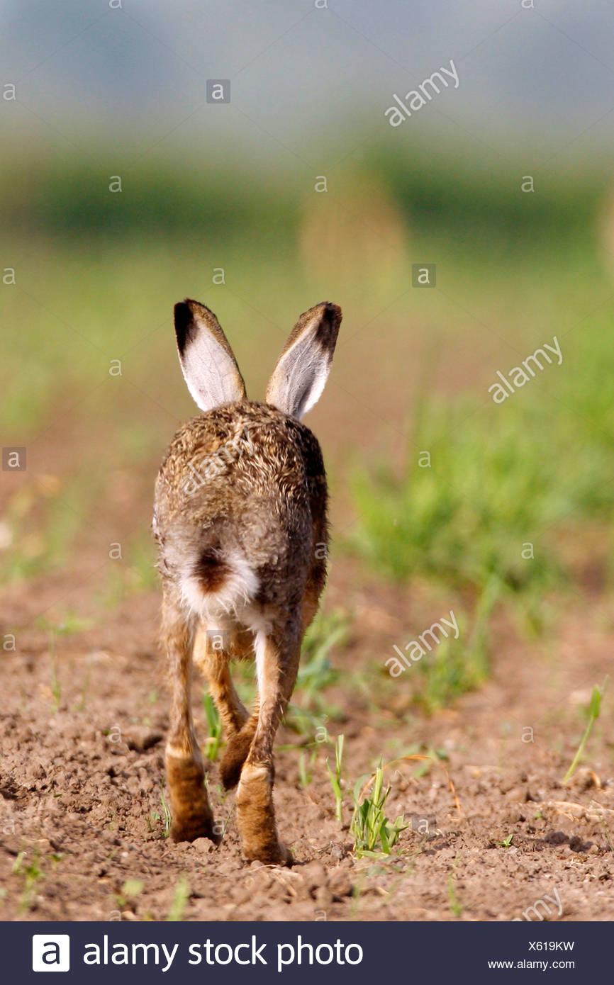 European hare (Lepus europaeus), toddling off on a field, Austria, Neusiedler See - Stock Image