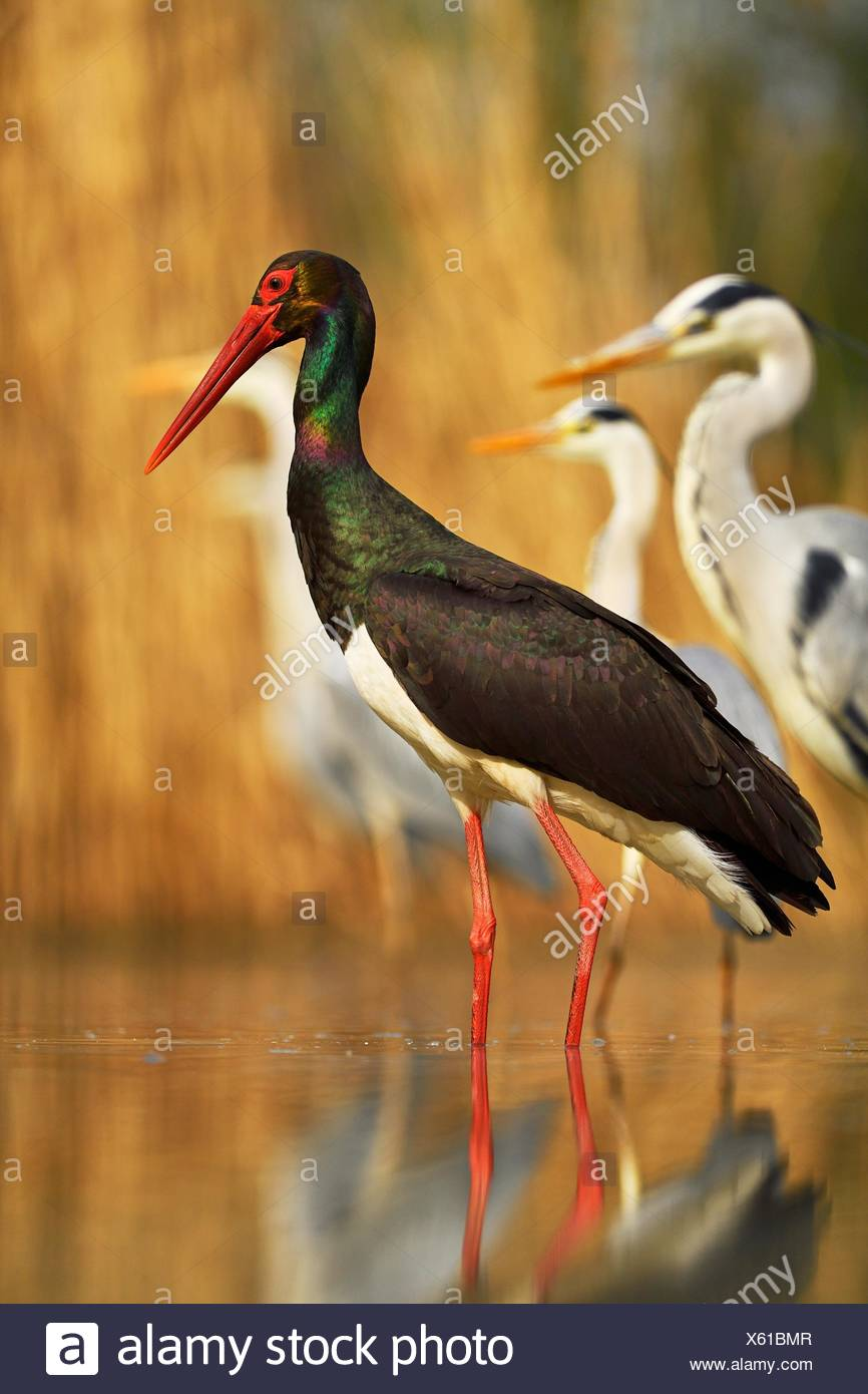 Black stork (Ciconia nigra), with gray herons (Ardea cinerea), standing in pond, Kiskunság National Park, Hungary - Stock Image