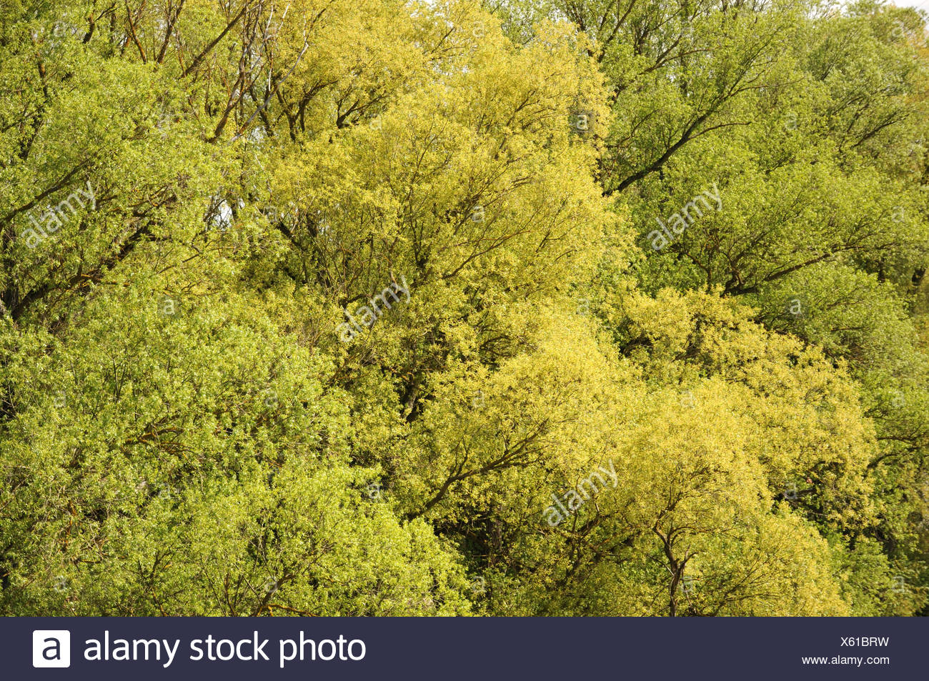 Silver willows - Stock Image