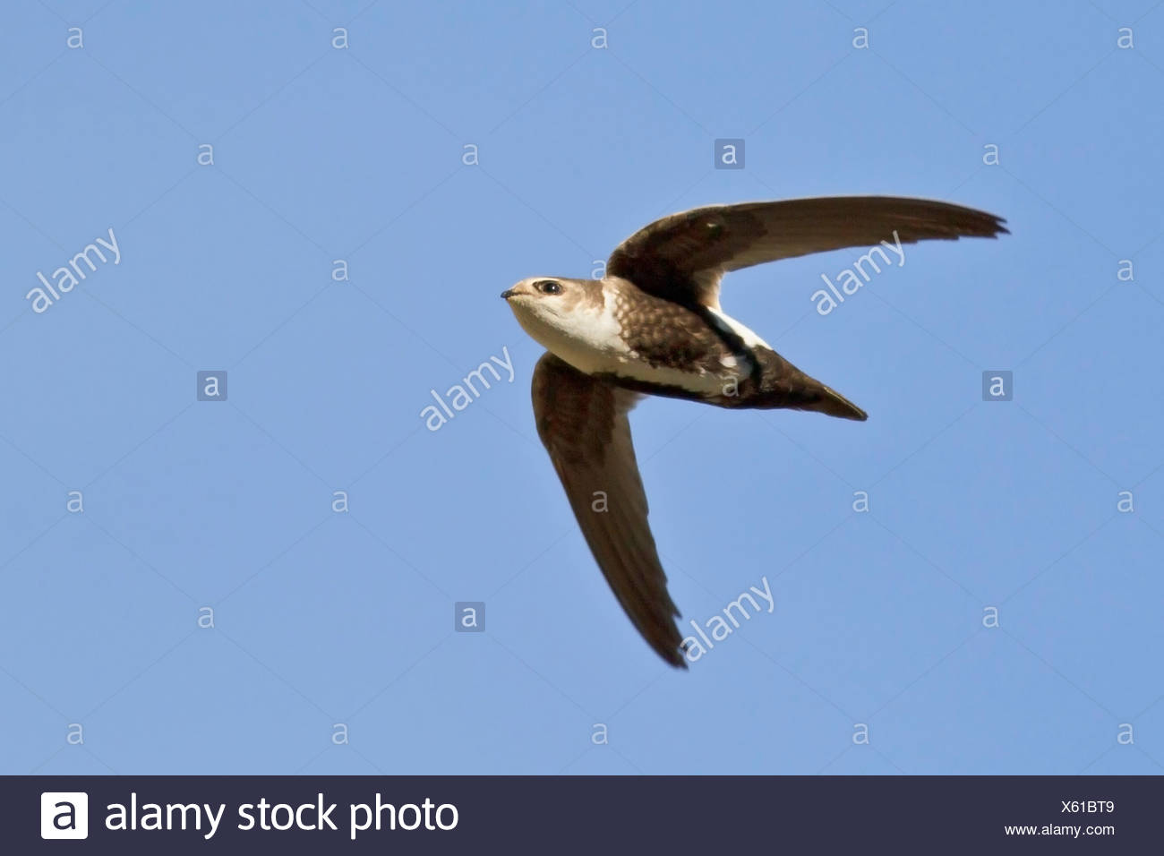 White-throated Swift (Aeronautes saxatalis) flying in the Okanagan Valley, British Columbia, Canada. - Stock Image