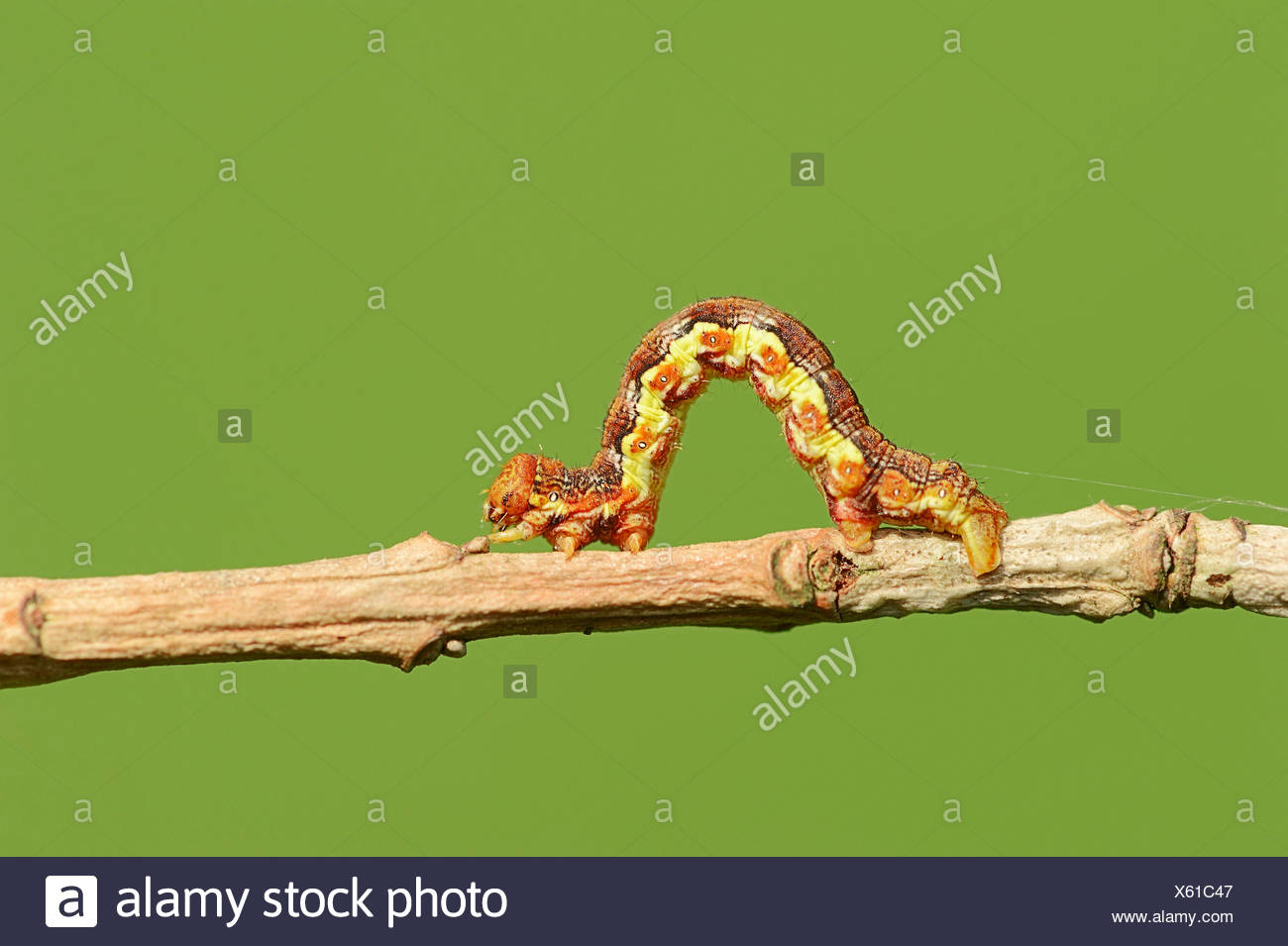 Caterpillar, Great Winter Moth (Erannis defoliaria), North Rhine-Westphalia, Germany - Stock Image