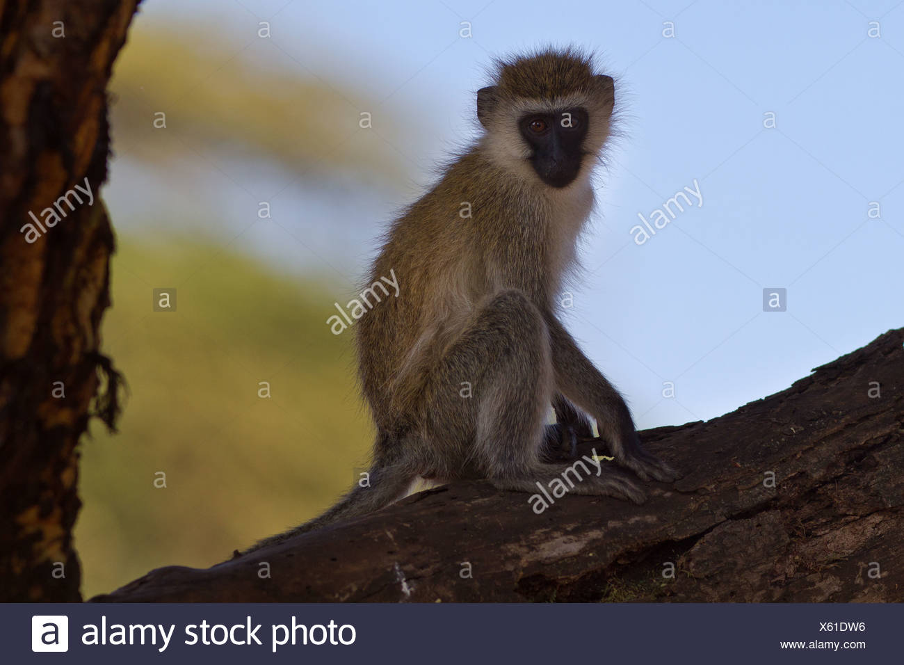 Close up of vervet monkey sitting on branch of tree, side view, Lewa Downs, Kenya, East Africa - Stock Photo
