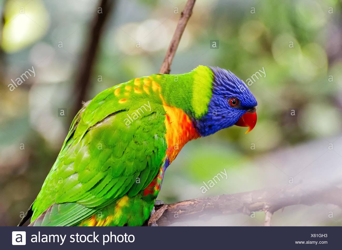 Rainbow lori - Stock Image