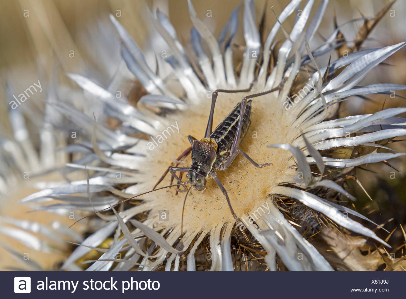 Südlicher Warzenbeißer oder Decticus albifrons genannt  lebt im Mittelmeerraum und Südosteuropa Stock Photo