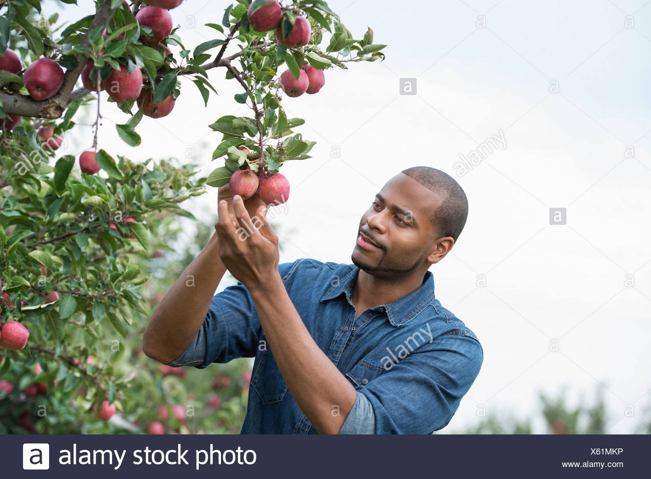 An organic apple tree orchard. A man picking the ripe red apples. - Stock Image
