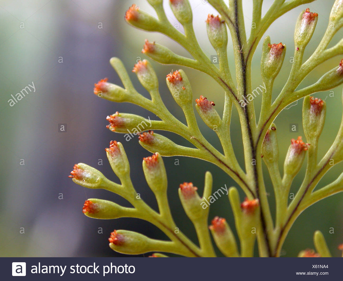 Rabbit's Foot Fern (Davallia fejeensis), detail of a frond with sori - Stock Image