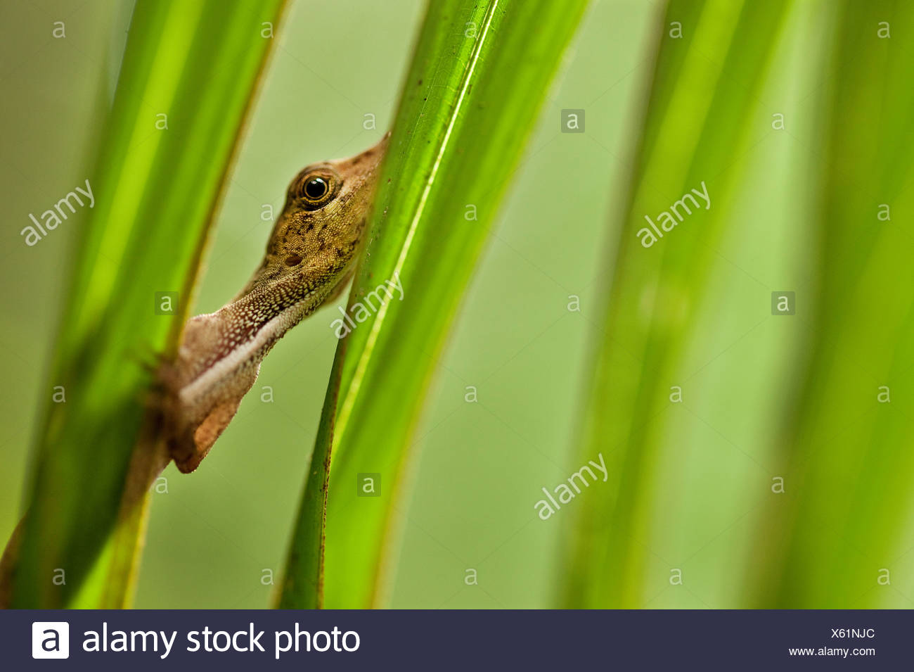An anole watches the photographer warily from behind palm fronds in Tambopata National Preserve, Peru. (Anolis sagrei) - Stock Image