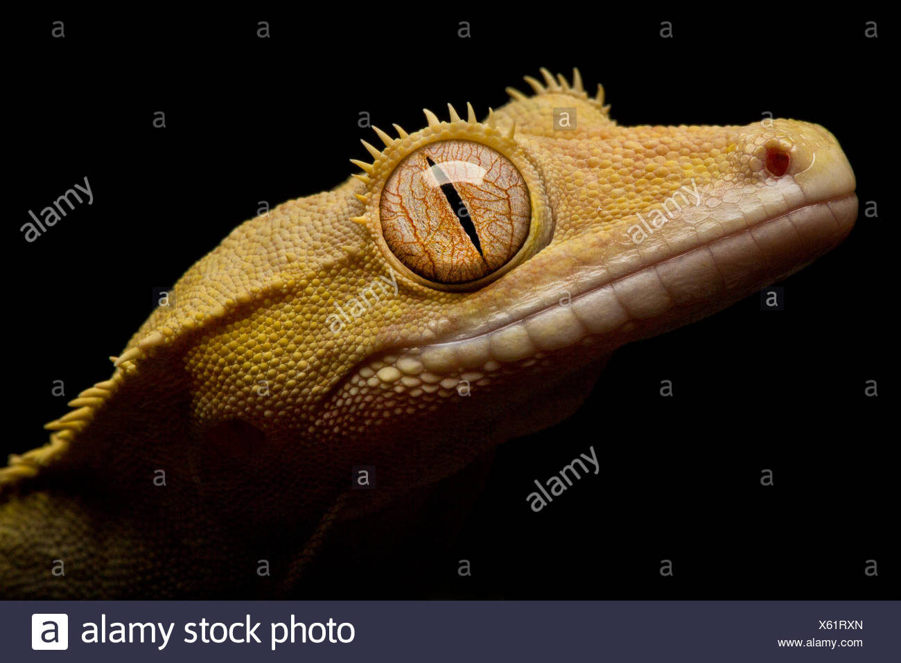 Close up portrait of a Crested Gecko, Correlophus ciliatus. - Stock Image