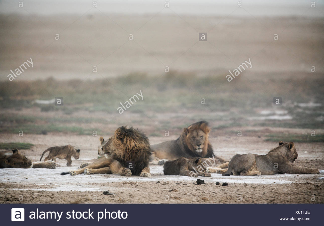 A lion pride, Panthera leo, during a sand storm. Stock Photo