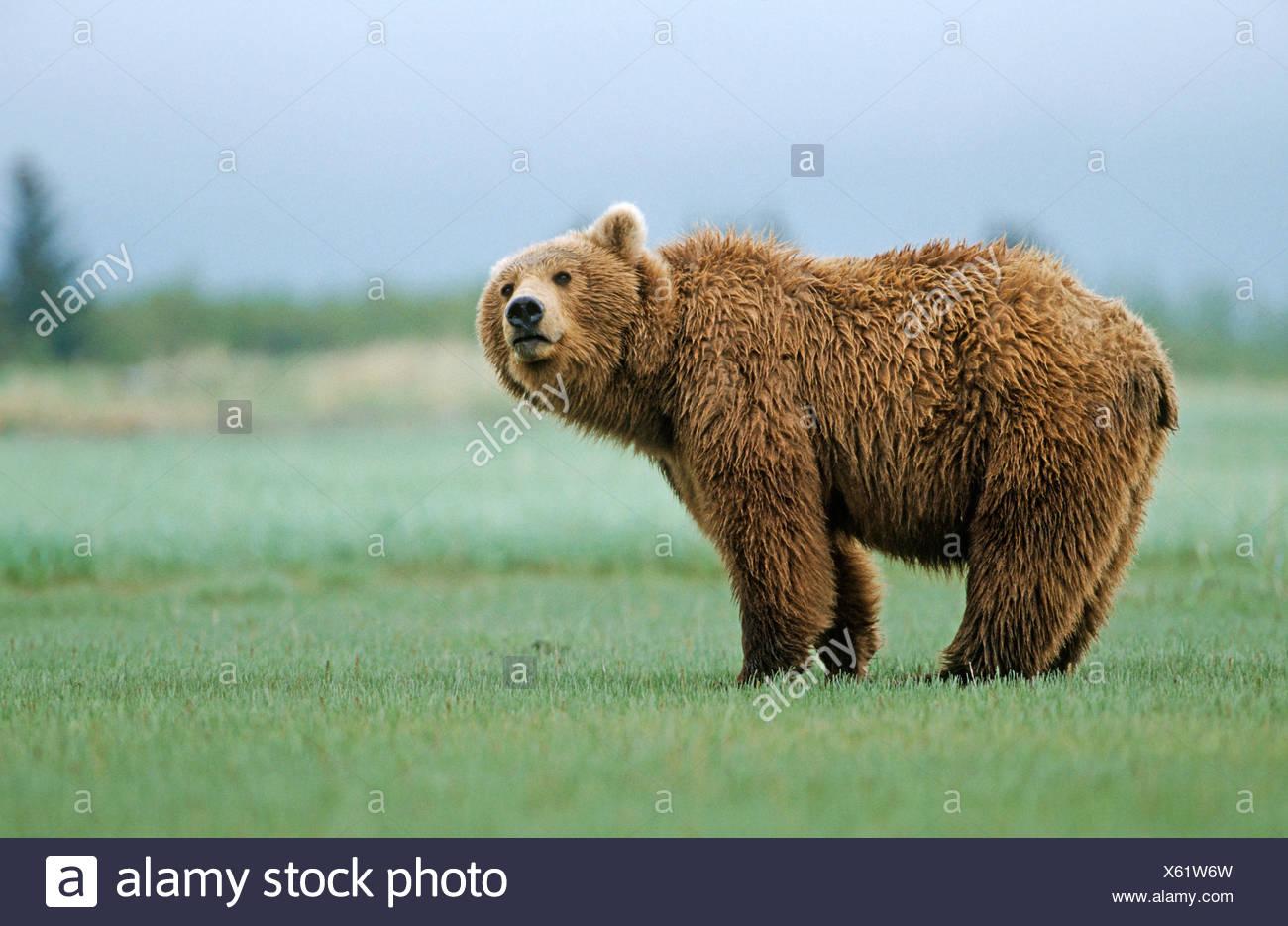 Brown bear (Ursus arctos), Katmai N.P., Alaska - Stock Image