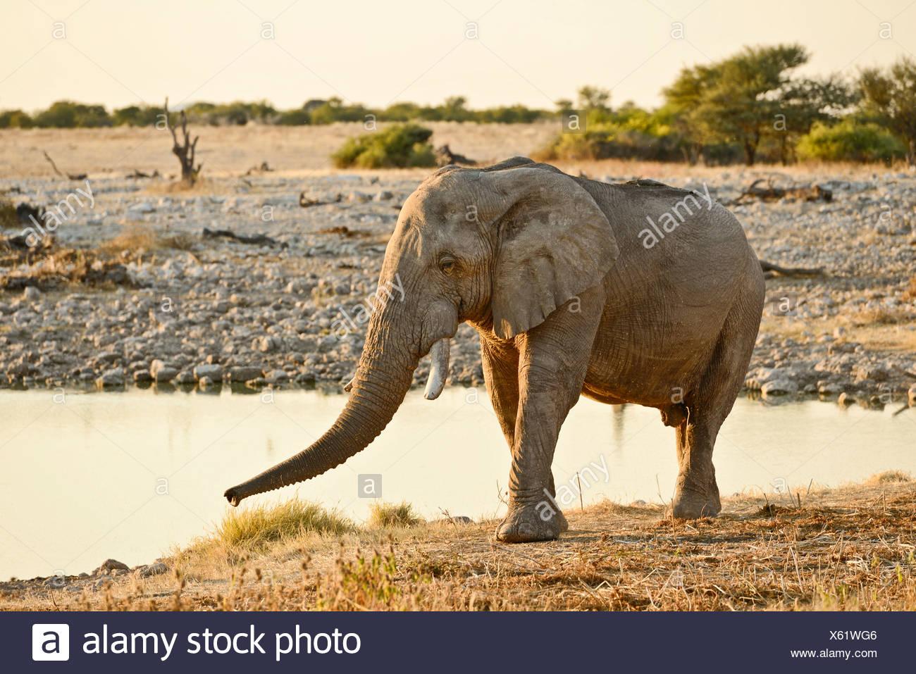 Africa, Etosha, National Park, Namibia, african, alone, animal, drinking, dusk, elephant, animal, horizontal, plains, safari, sa - Stock Image