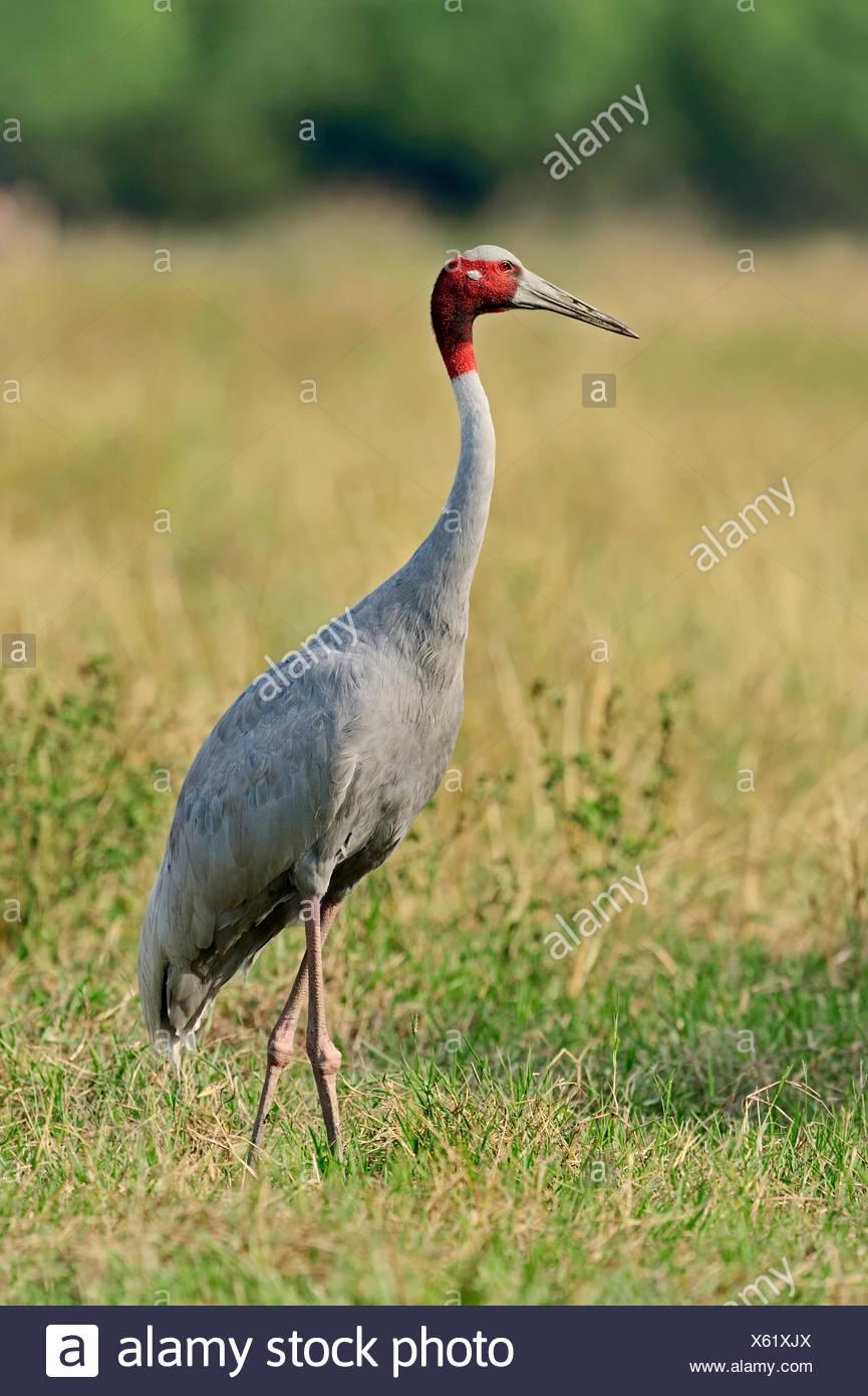 Sarus Crane (Grus antigone), Keoladeo National Park, Bharatpur, Rajasthan, India - Stock Image