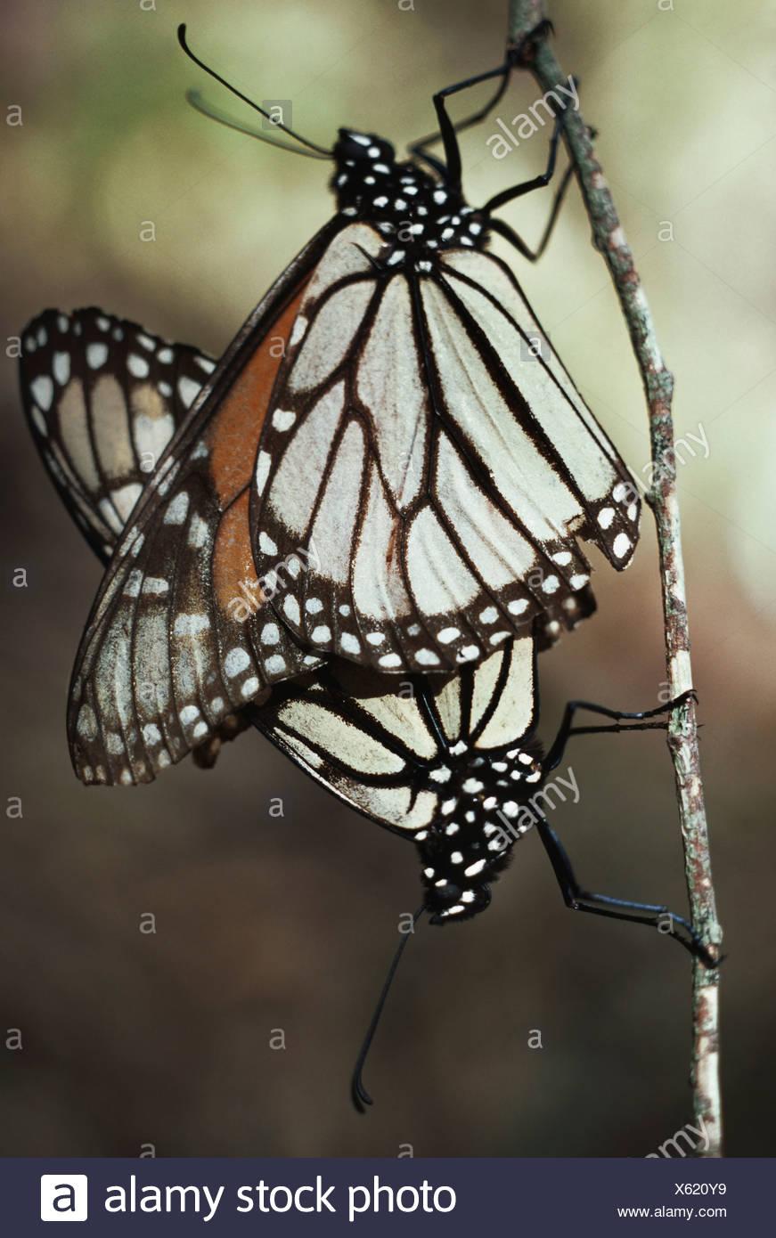 Monarch butterflies mating Danaus plexippus California California USA - Stock Image