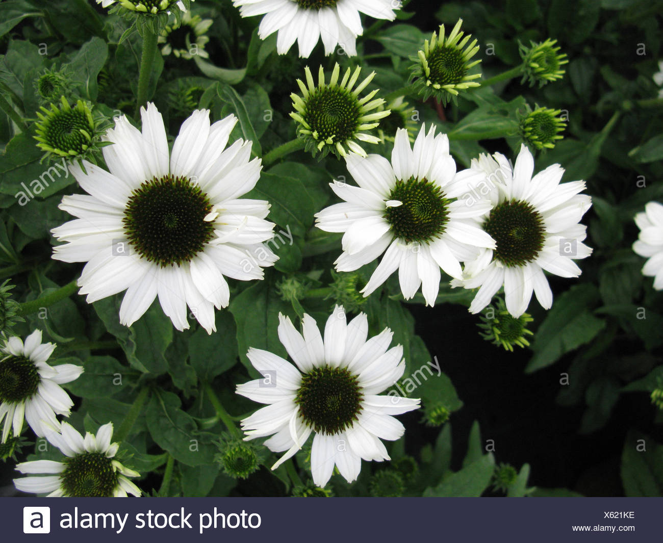 Purple Cone Flower, Eastern purple-coneflower, Echinacea purpurea Pow Wow White Rudbeckia purpurea, Brauneria purpurea blooming, cultivar - Stock Image