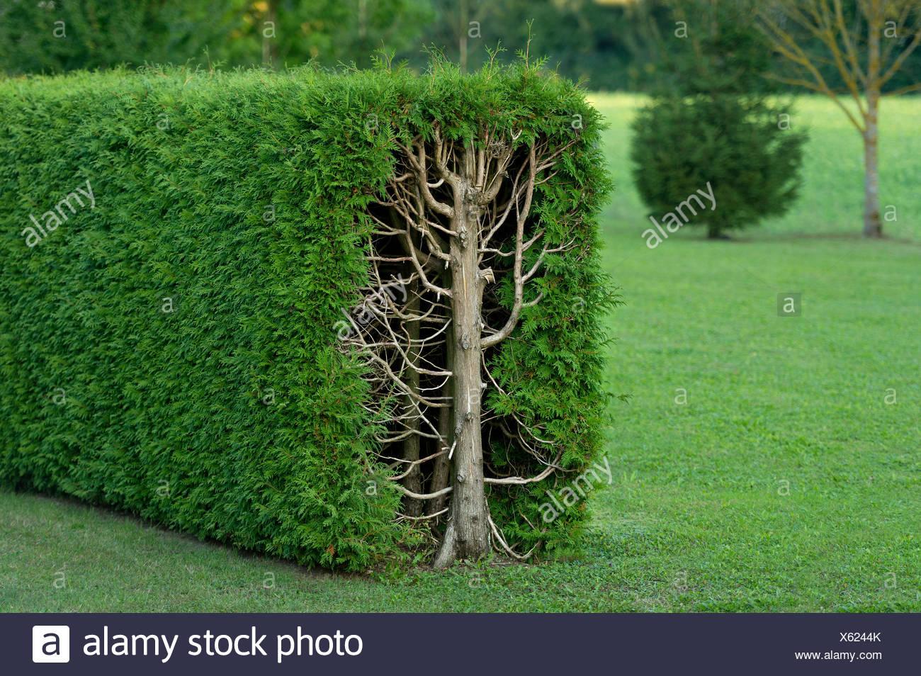 Thujas or arborvitae (Thuja) trimmed rectangular hedge, cross-section, Fischerhäuser, Ismaning, Upper Bavaria, Bavaria, Germany - Stock Image