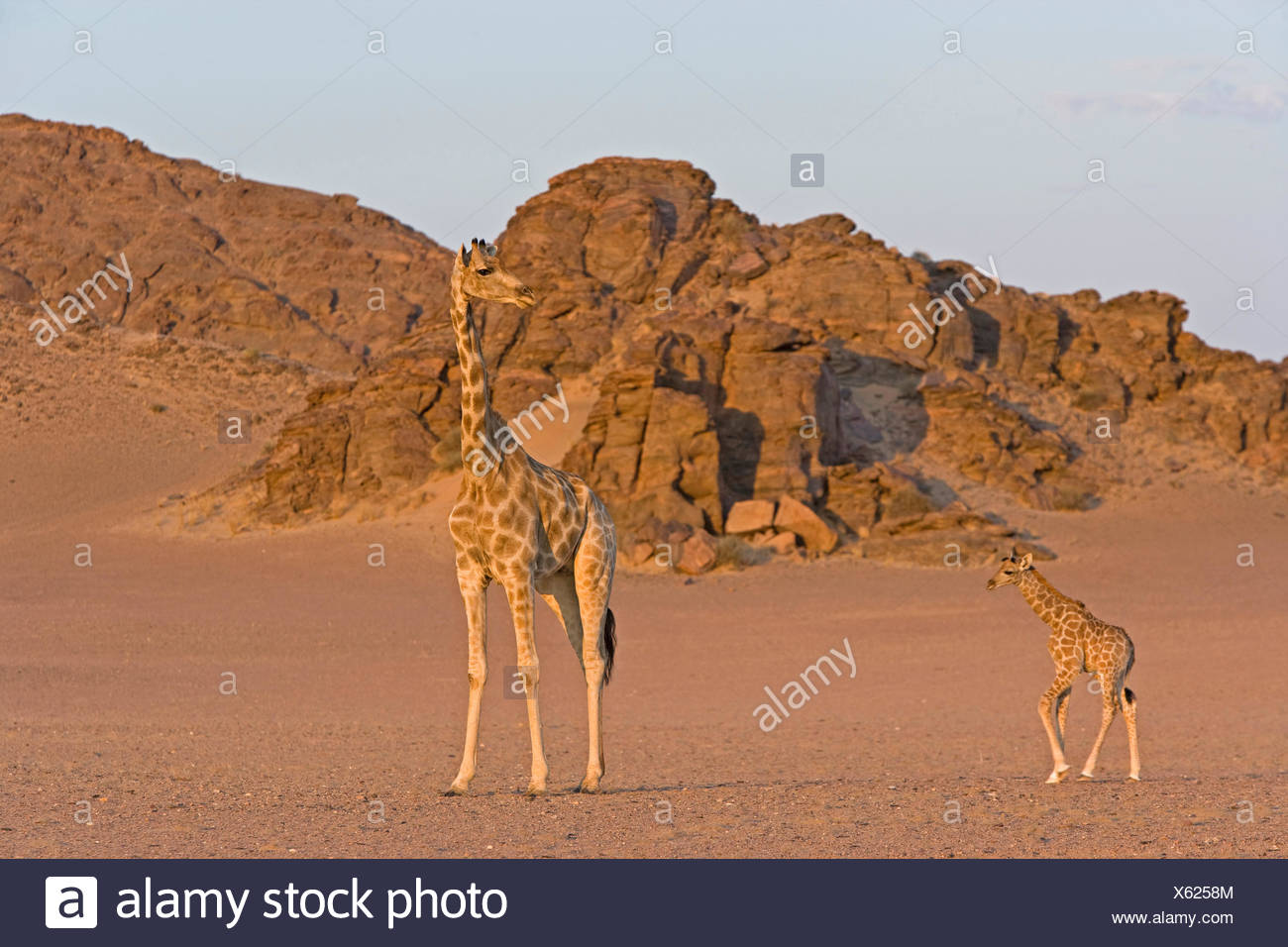 Angolan Giraffe, Namibian Giraffe (Giraffa camelopardalis angolensis) Female young standing the Namib desert Namib-Skeleton Coas - Stock Image