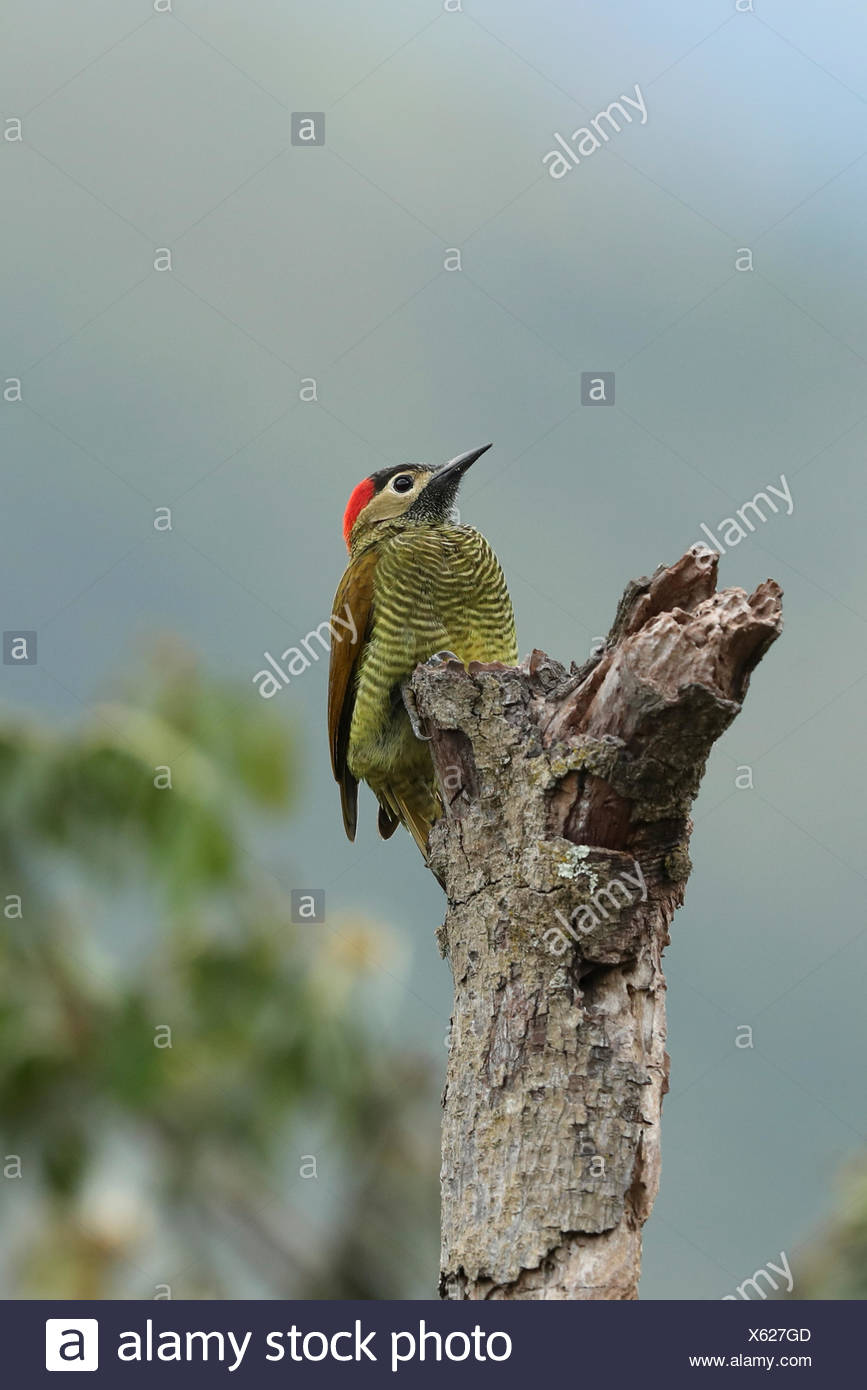 Golden-olive Woodpecker, Colaptes rubiginosus, perches on a dead tree in the montane rainforest. - Stock Image