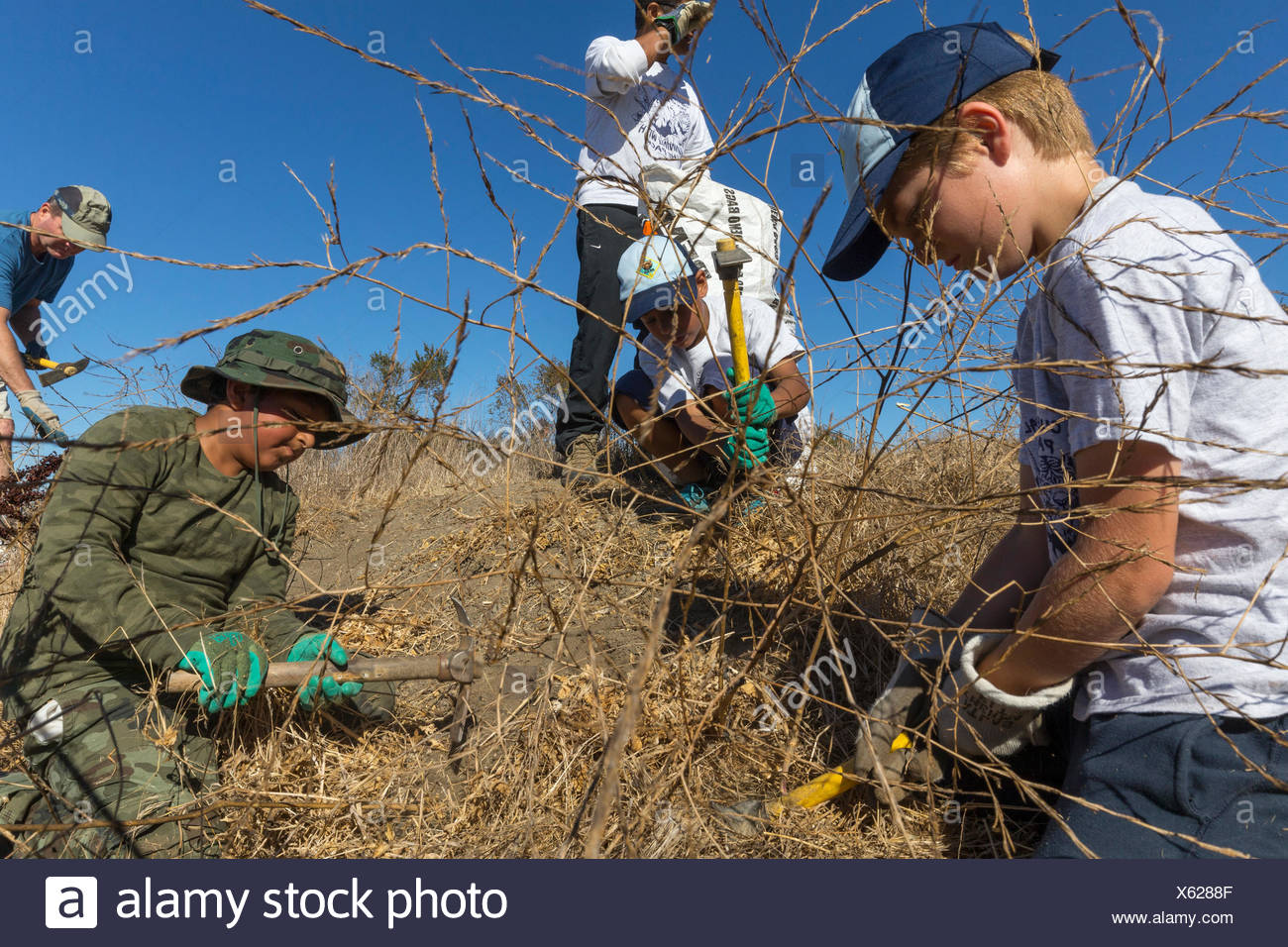 Volunteers for Save the Bay weeding invasive species at Byxbee Park,Palo Alto,CA.The invasive species were mustard,fennel and stick wort (Dittrithia grabbiness. - Stock Image