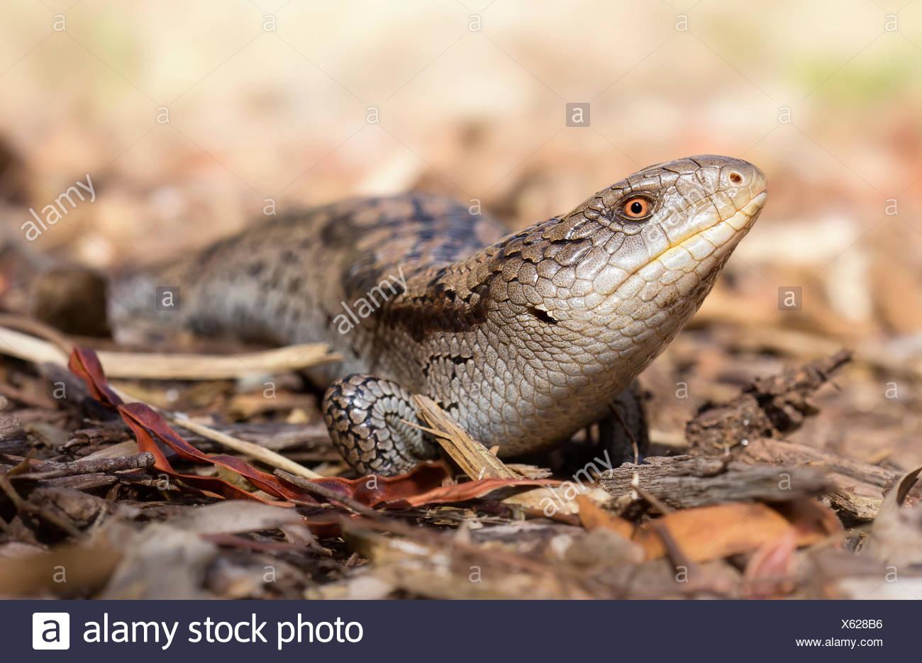 Australia, Blotched blue-tongue lizard crawling on ground - Stock Image