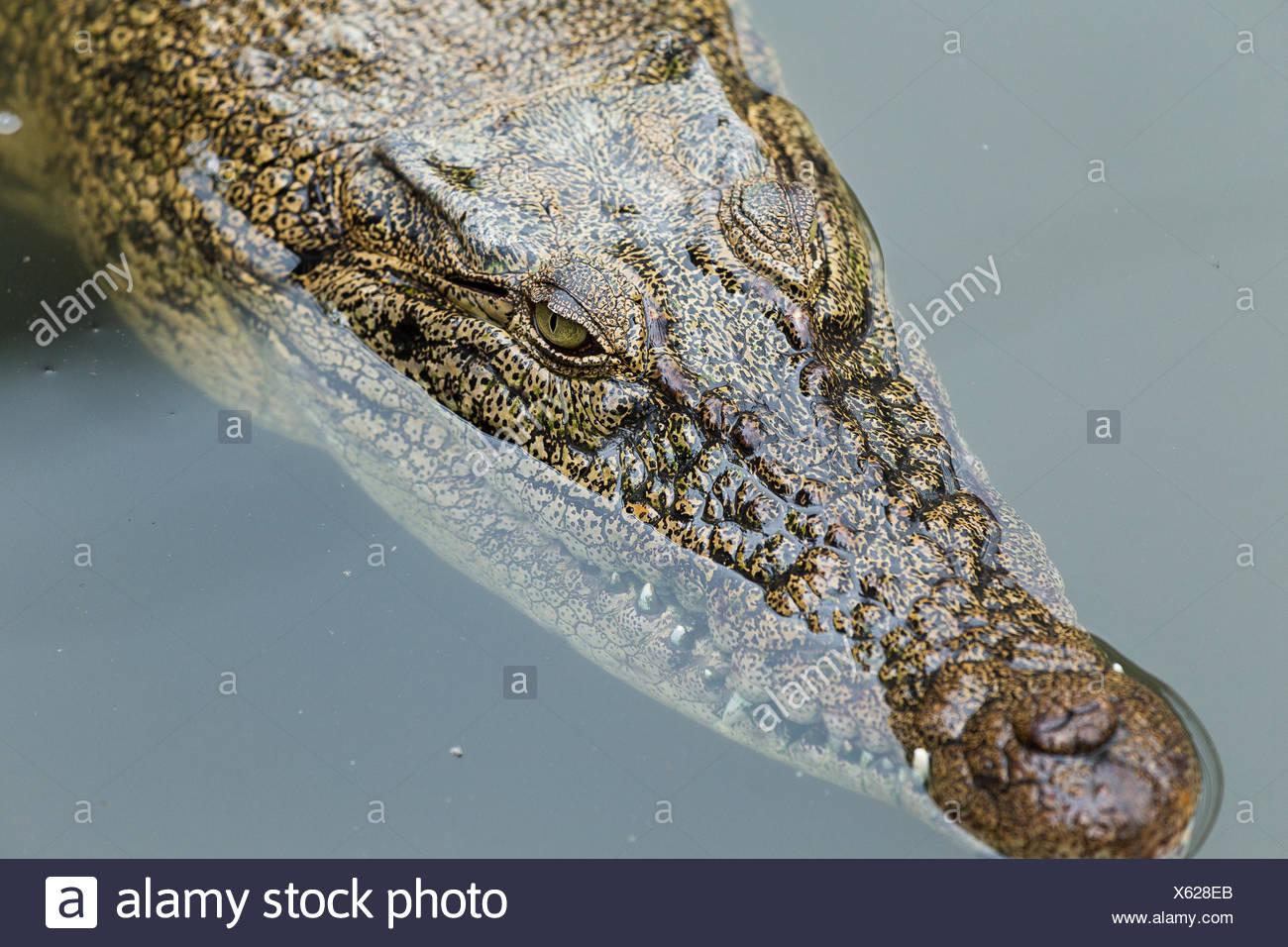 Swimming Crocodile - Stock Image