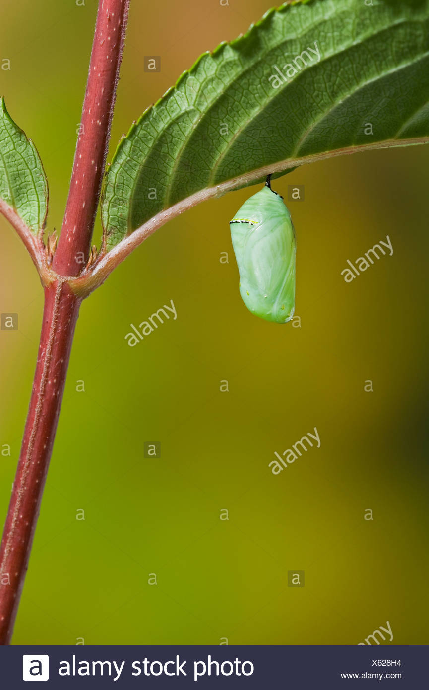 Monarch butterfly's newly formed chrysalis begins the pupal stage of its life cycle. Summer, Nova Scotia.  Series of 5 images. - Stock Image