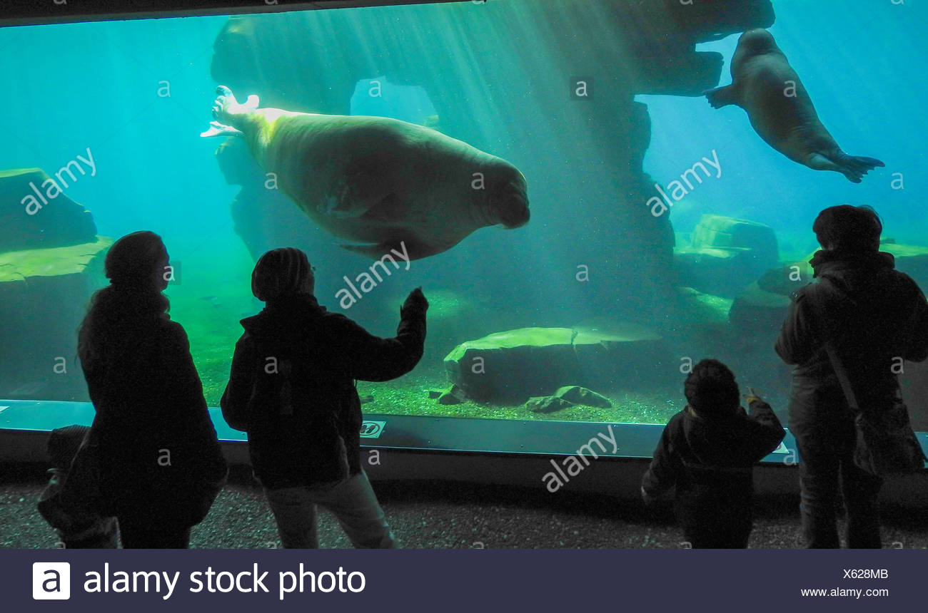 Walross (Odobenus rosmarus), Begegnung im Aquarium   walrus (Odobenus rosmarus), encounter in aquarium   BLWS418424.jpg [ (c) bl - Stock Image