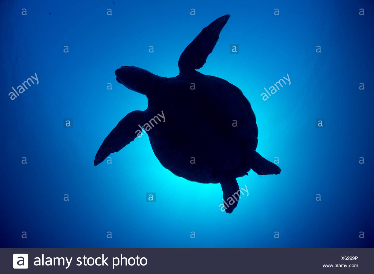 Silhouette of a Green sea turtle (Chelonia mydas) against sun in blue water above coral reef. Rock Islands, Palau, Mirconesia. Tropical west Pacific Ocean. Stock Photo
