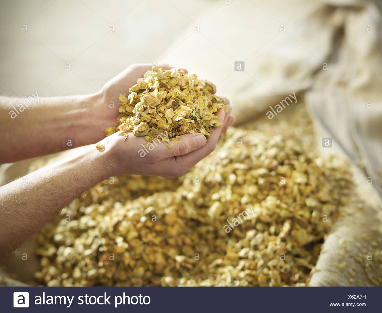 Hands holding hops in brewery - Stock Image
