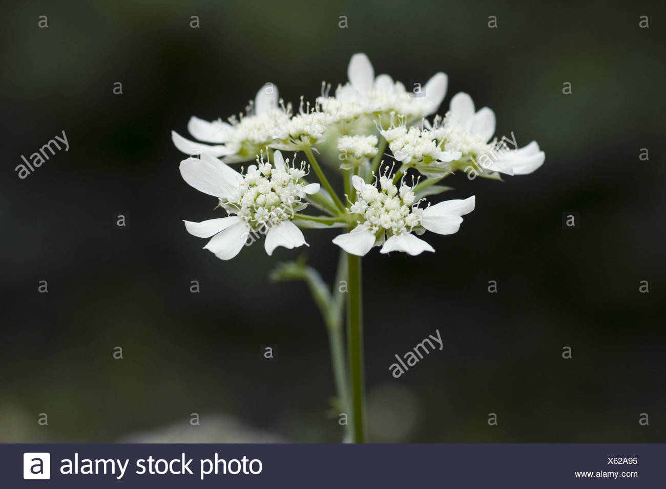 orlaya grandiflora Stock Photo