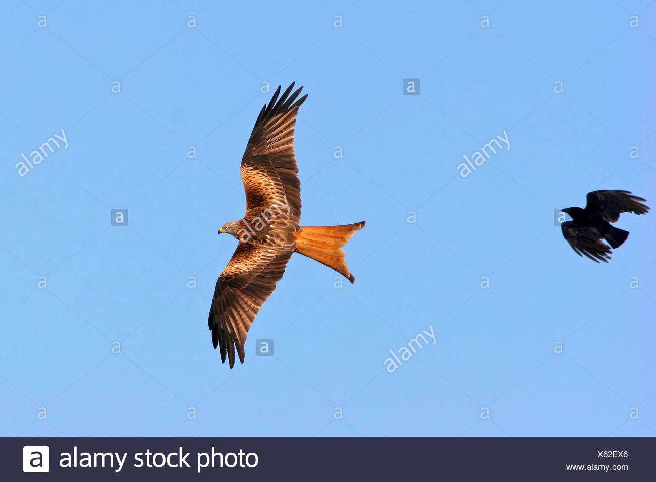 red kite (Milvus milvus), persecuted by a crow, Europe - Stock Image