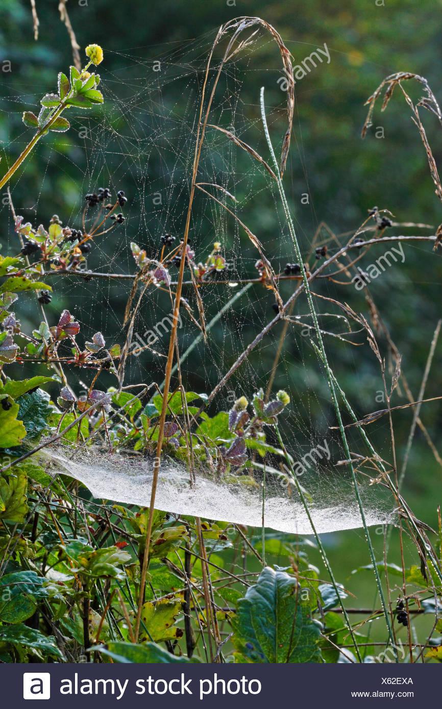 Gemeine Baldachinspinne, Baldachinspinne, Baldachin-Spinne (Linyphia triangularis), Spinnennetz, Deutschland   Sheet-web weaver, - Stock Image