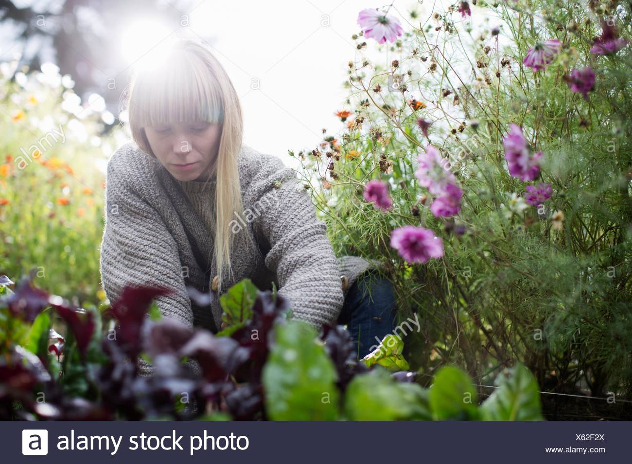 Mid adult woman tending lettuce in organic garden - Stock Image
