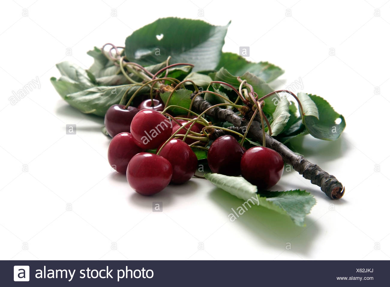 Cherry variety Büttners roter Knorpelkirsche  with twig and leaves - Stock Image