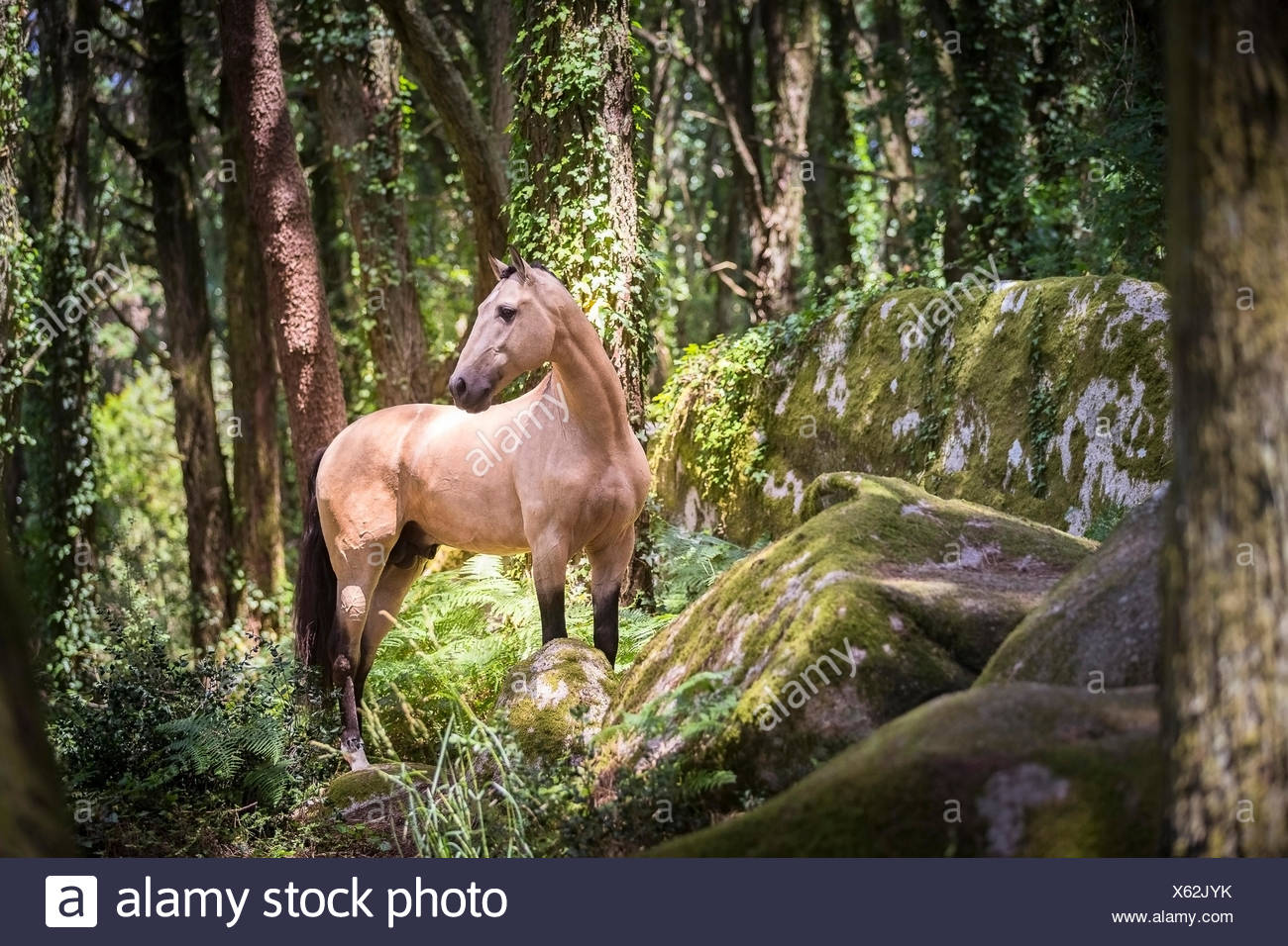 Lusitano. Dun stallion standing in a forest. Portugal - Stock Image