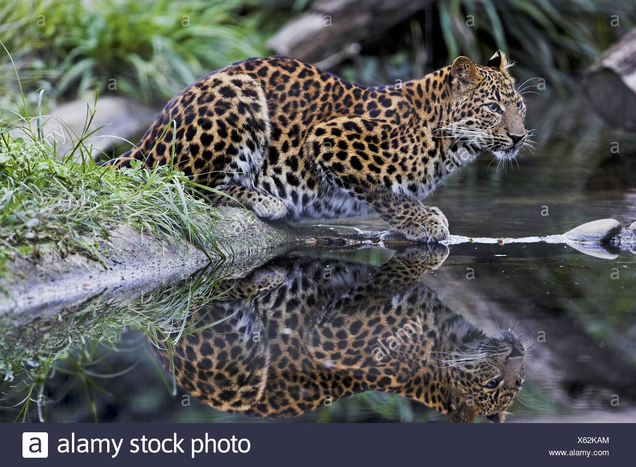 chinese leopard Stock Photo