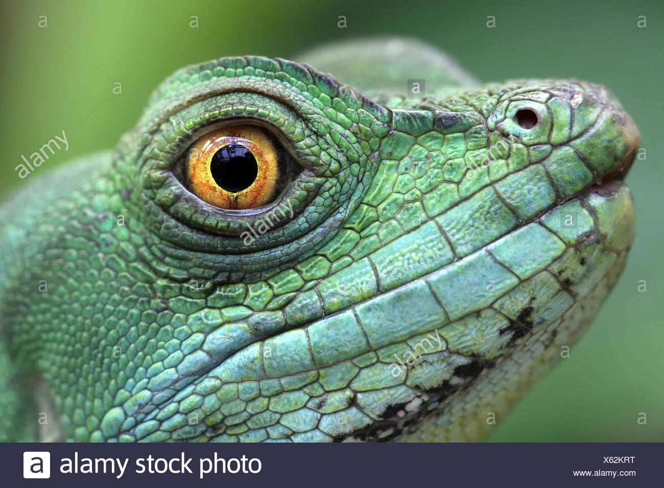GREEN BASILISK Stock Photo
