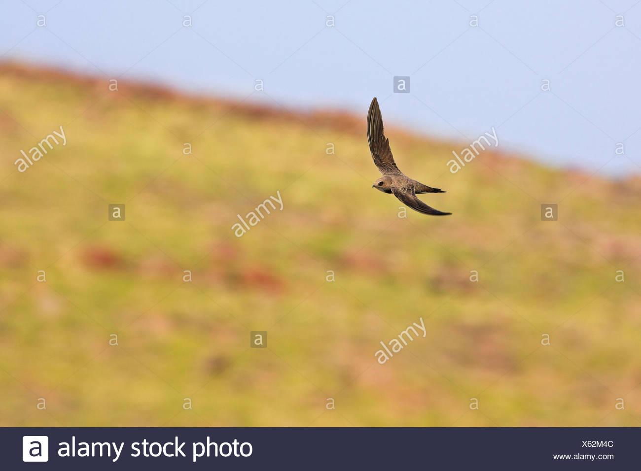 alpine swift (Apus melba, Tachymarptis melba), flying, Austria Stock Photo