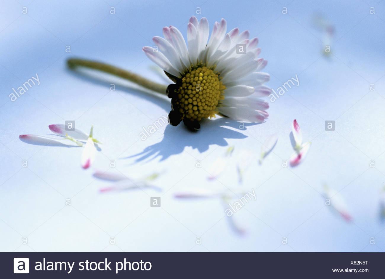 Plucked Petals Daisy Flower Stock Photos Plucked Petals Daisy