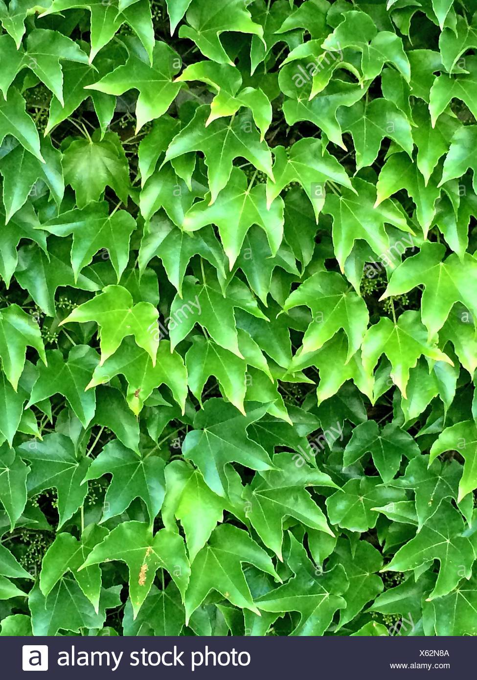 wild vines leaves in summer. - Stock Image
