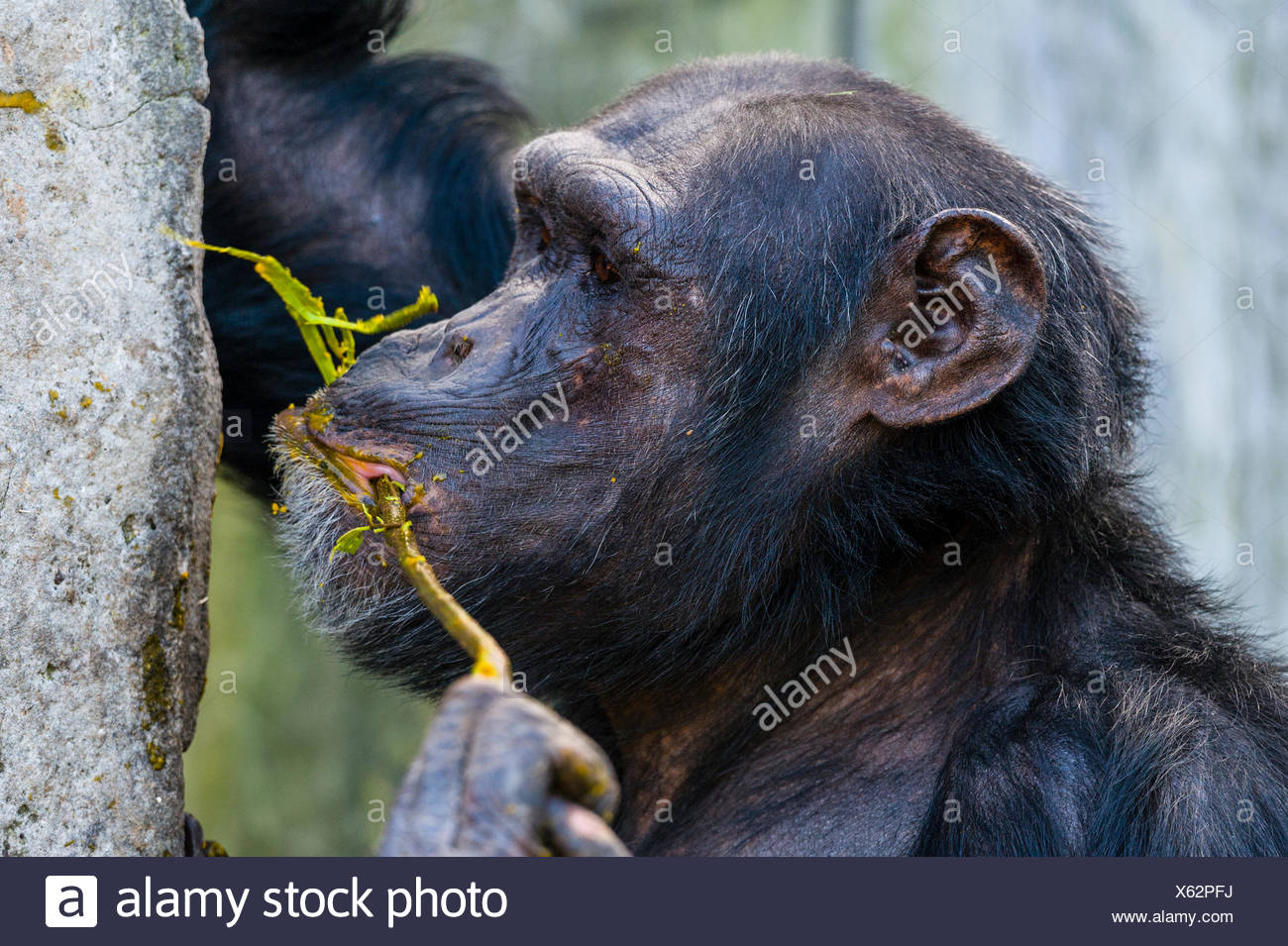A Chimpanzee using a twig as an tool to collect food from an artificial termite mound. - Stock Image