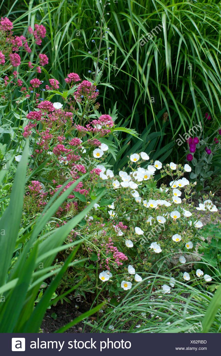 Centranthus Ruber Valeriane Rouge En Fleur Dans Un Jardin Plante