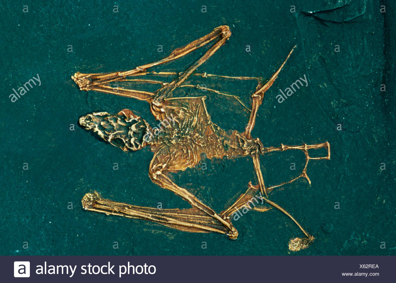 Fossil Bat - Stock Image