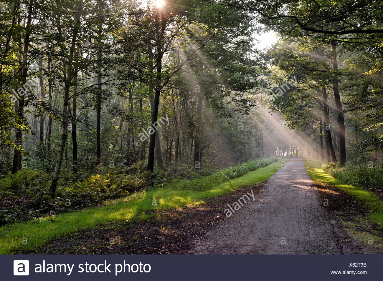Germany, Lower Saxony, East Frisia, Rays of light in forest - Stock Image