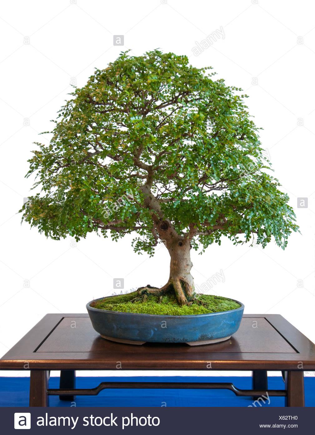 Japanese Pepper Tree Zanthoxylum Piperitum Close Up Of Leaves And Fruit Stock Photo Alamy