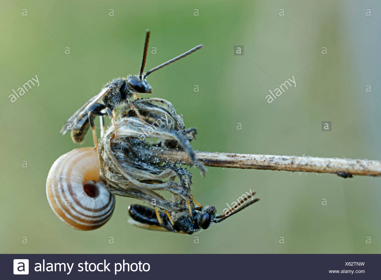 Sweat Bees or Halictid Bees (Halictus calceatus or Lasioglossum calceatum) on a wilted flower with a Snail (Helicidae), Hesse - Stock Image