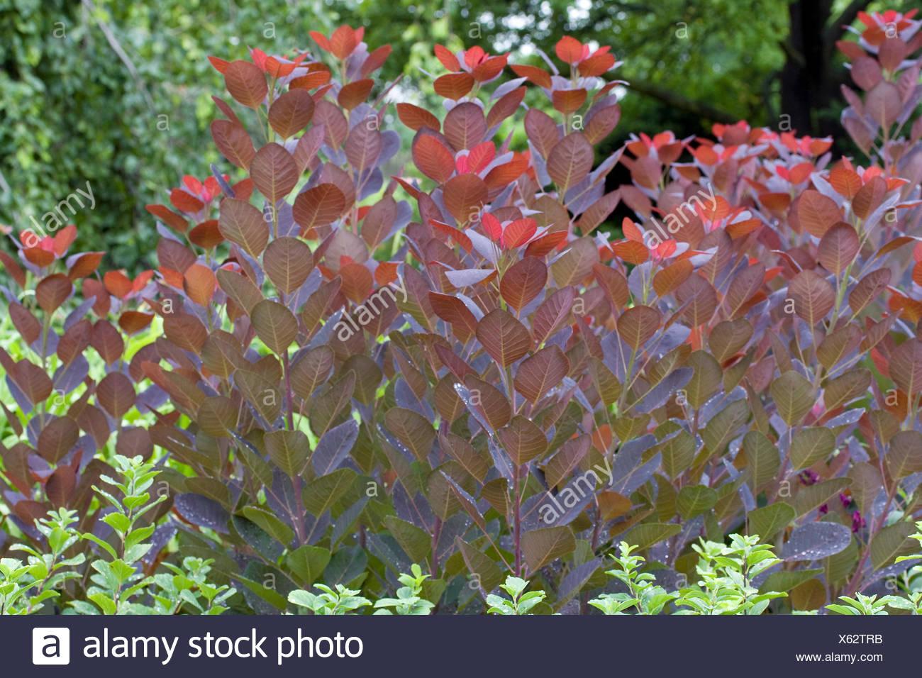 Cashew Bush Or Tree