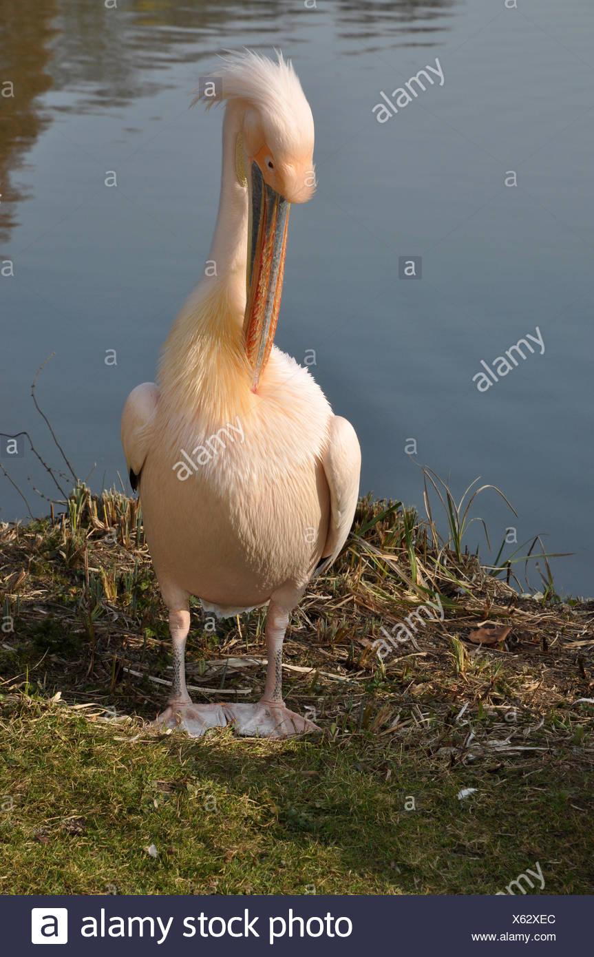 pelikan, Pelecanus onocrotalus, Pelecanus, onocrotalus, rosa pelikan, rosapelikan, vogel, tier, pelikane Stock Photo