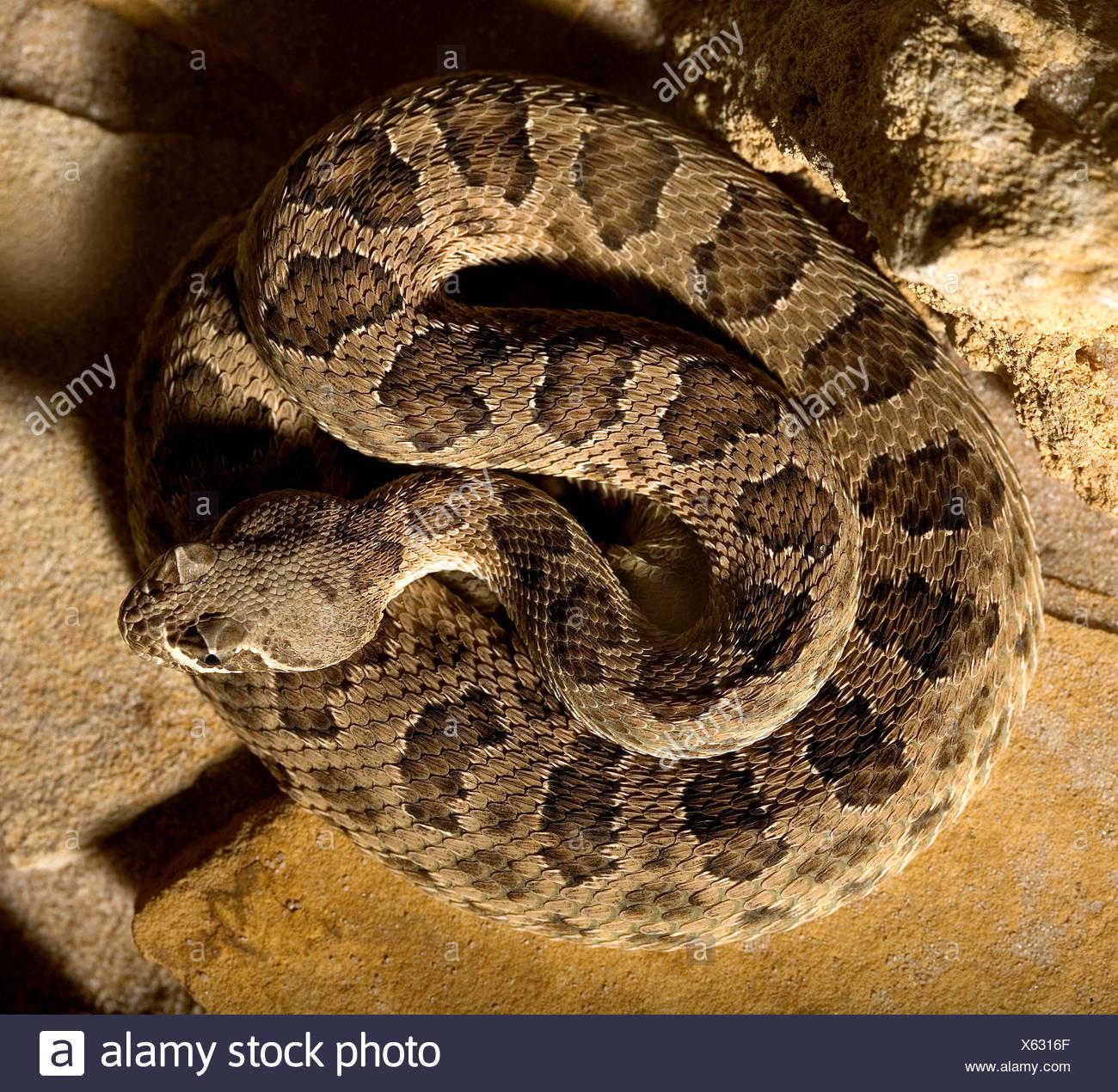 danger brown brownish brunette snake poison rattlesnake