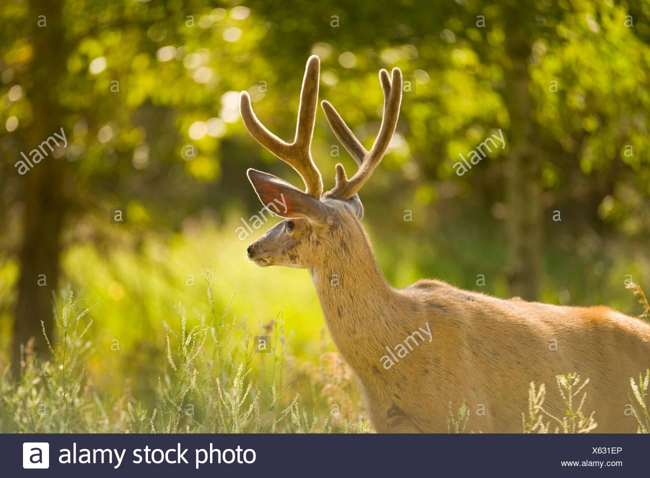 white-tailed Deer near Kimberly, British Columbia, Canada, Mammal Stock Photo